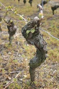 vine-stock