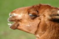 Laughing Llama 2