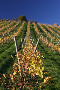 Vineyard field 1