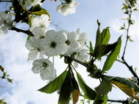 Okanagan Cherry Blossoms 2