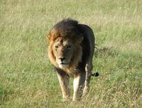Lion of Massai Mara, Kenya