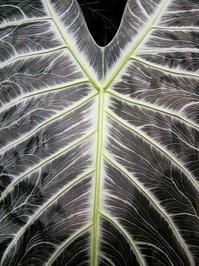 Big leaf of tropical plant