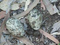 Eggs, Bush Stone Curlew