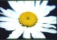 Sunshine Inside Daisy Petals