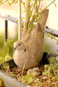 Turtledoves 2