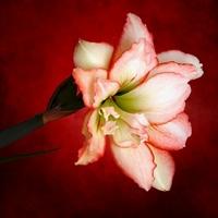 Passion Flower (Amaryllis #2)