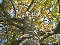 ataum tree