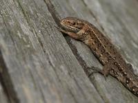 Tiny lizard 2
