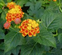 yellow-orange flowers