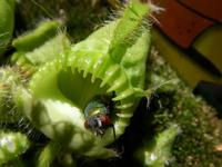 Fly in flytrap