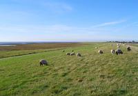 Sheep on Sylt