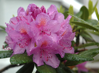 Rhododendron in Rain