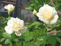 White Roses in Spring