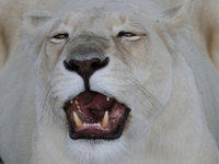 White Lion Close-ups 2