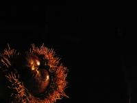 A chestnut 3