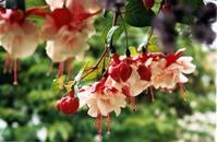 Summer Fuchsias