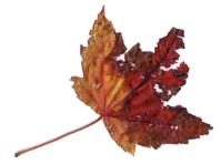 Maple Leaf Scanner Art 2