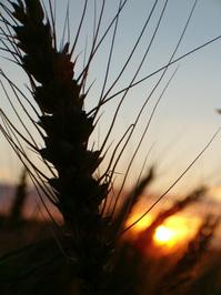 Wheat #1