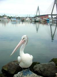Pelican in Sydney