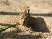The Grasshopper 1
