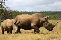 White Rhino 4