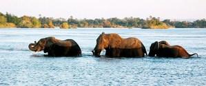 elephants crossing the zambezi