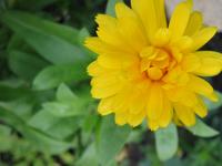 Crysanthemum Flower