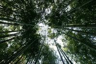 bamboo around me 1