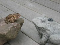 Frog Staredown