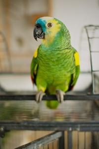 Amazonas Parrot 4