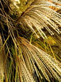 Midwest Field Grass