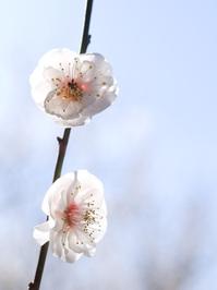 japanese apricot