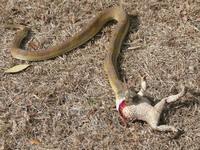 Snake/Frog 1
