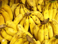 Olha as bananas.... olha o bananeiro! 3