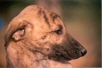Shy Greyhound pup