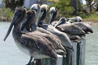 7 Pelicans