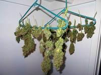 Cannabis Drying