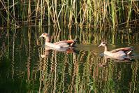 2 strange, swimming ducks