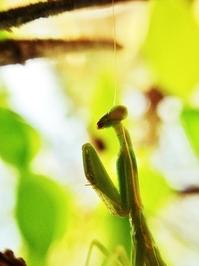 Macro shot of praying mantis
