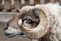 Curly Horned Ram 1
