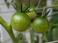 Green Tomato Set 1