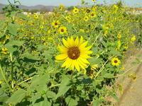 Wild Sunflowers 2