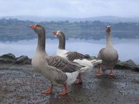 Geese near Lough Eske