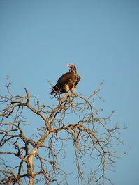 Patient vulture