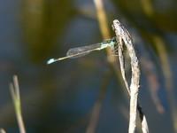 Small Dragon Fly