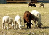 ewes 2