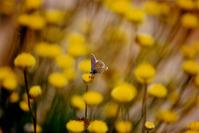 butterfly in yellow field