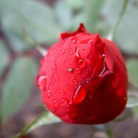 Rose Dew 1
