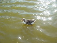 Pato na lagoa / Duck in lake