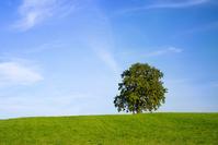 Oak Tree on green Hill
